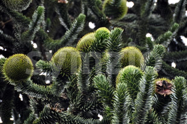Monkey Puzzle Tree (araucaria) Stock Photo