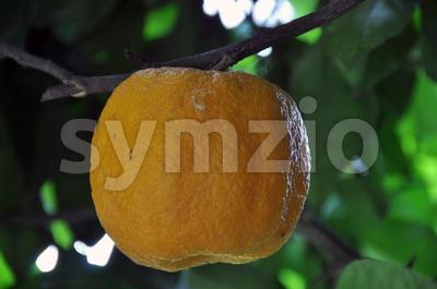 Orange Tree 1 Stock Photo