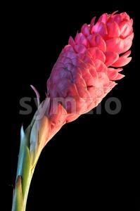 Red ginger flower Stock Photo