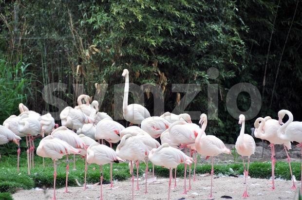 Group of flamingos Stock Photo