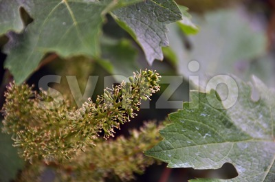 Wineyard in early summer Stock Photo