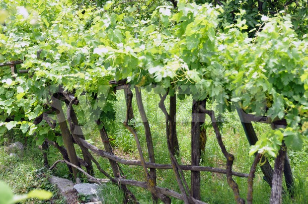 Wineyard in early summer 2 Stock Photo