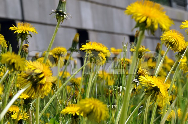 Blossoming dandelion field in front of stone building