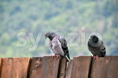 Pigeon couple sitting on board wall Stock Photo