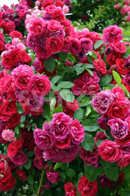 Country roses tree Stock Photo