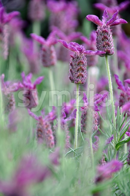 Closeup of field full of blossoming lavender