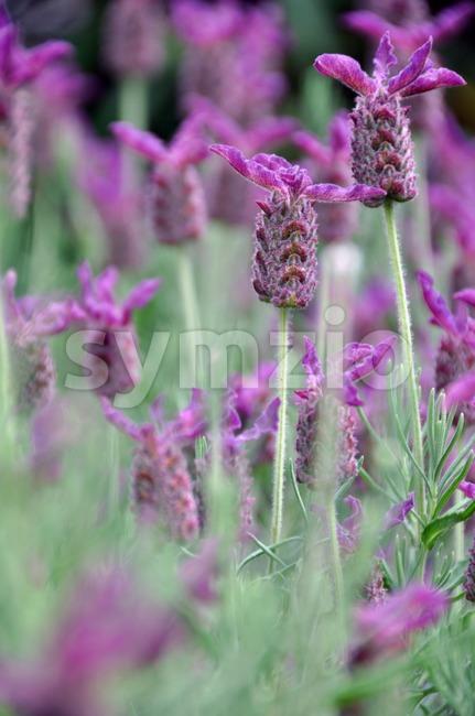 Lavender blossom Stock Photo
