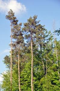 Large pine trees Stock Photo