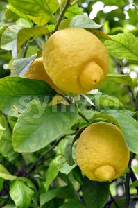 Lemon Fruits and Blossom Stock Photo