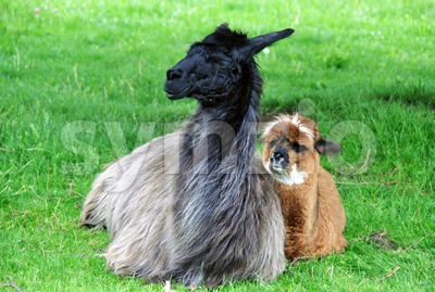 Alpaca family Stock Photo