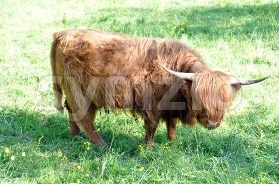Highland cow 3 Stock Photo