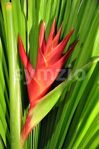 Heliconia Caribea Stock Photo