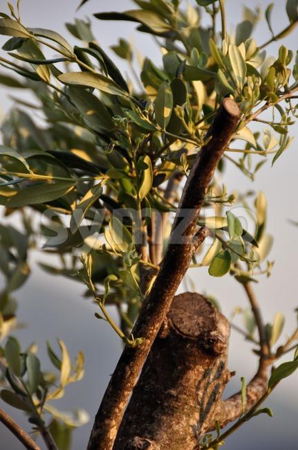Olive tree in spring Stock Photo