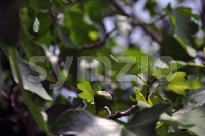 Fig tree with fruit Stock Photo