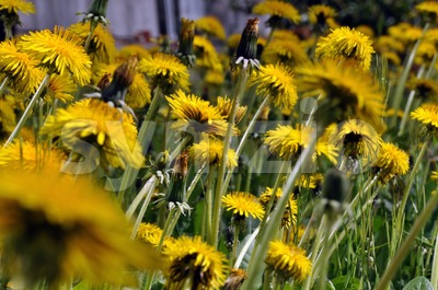 Dandelion field Stock Photo
