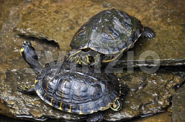 Sea turtles Stock Photo