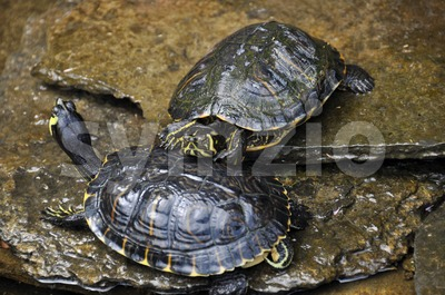 Sea turtles Stock Photo