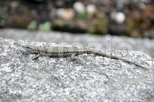 Lizard on the rocks Stock Photo