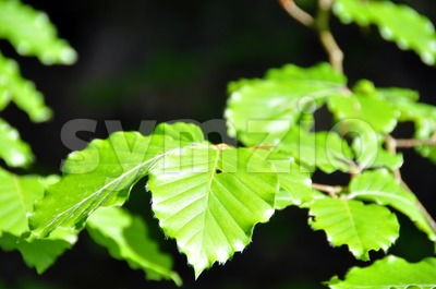 Beech leaves in spring Stock Photo