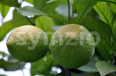 Lemon Tree 2 Stock Photo