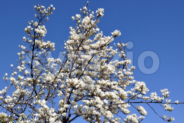 Blossoming magnolia tree Stock Photo