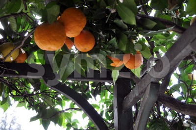 Orange And Lemon Trees Stock Photo
