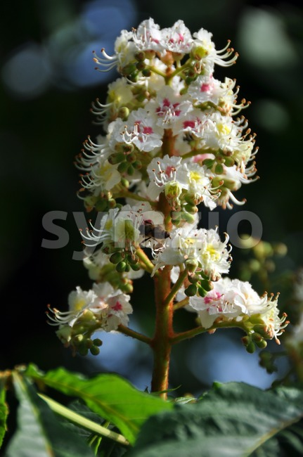 Closeup of white chestnut blossom (umbel) with a bee visiting and collecting honey. Leaves  and blue sky in the ...