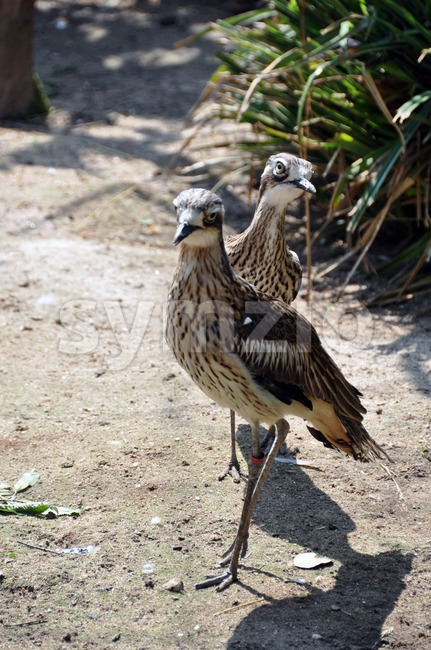 Curlew pair Stock Photo