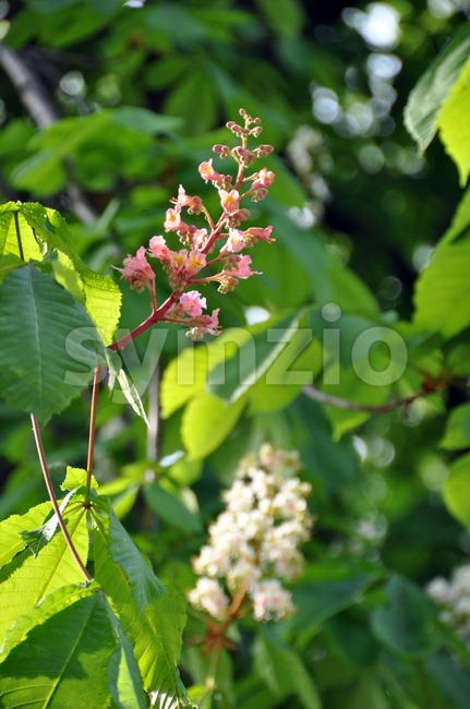 Closeup of pink and white chestnut blossoms (umbel) with leaves  and blue sky background
