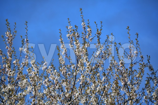 Blossoming branches of apple tree