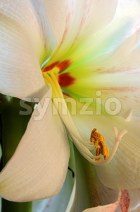 Amaryllis - Close Up Stock Photo