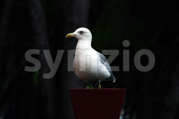Seagull in flower pot Stock Photo