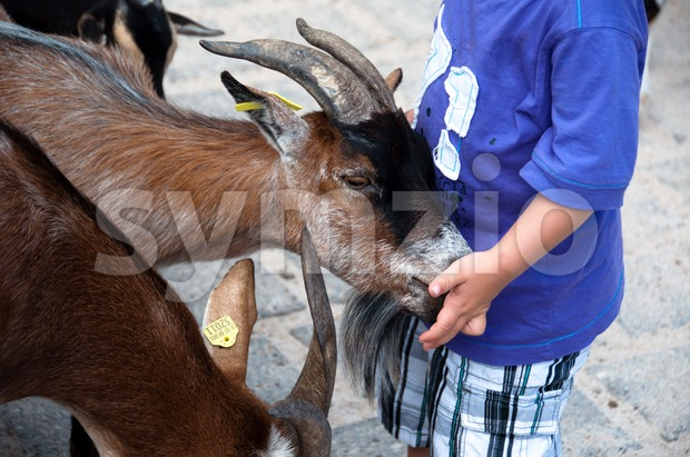 Small boy feeding goats in petting zoo Stock Photo