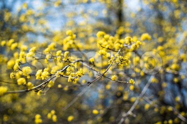 yellow blooming shrub Stock Photo