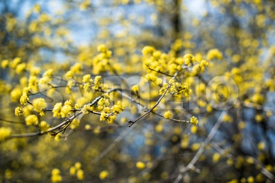 yellow blooming shrub Stock Photo