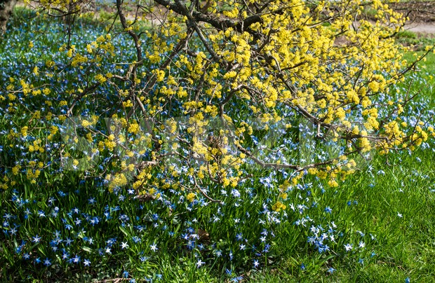 ,spring blossoms : yellow blossom shrub and blue wild flowers
