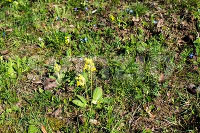 Spring meadow with Cowslips Stock Photo