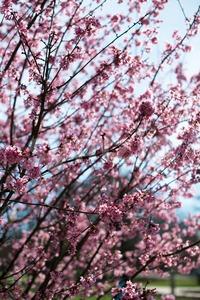 pink blossom sukura flowers Stock Photo