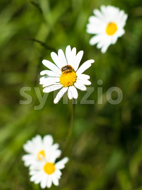 Chamomile flowers and bee Stock Photo
