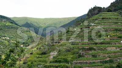 Wine hills of Vernazza, Cinque Terre Stock Photo