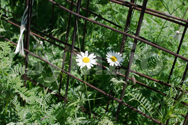 Chamomile flowers and rusty steel Stock Photo