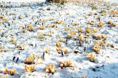 crocus flowers in snow Stock Photo