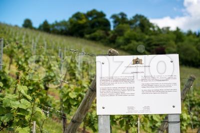 Lemberger grapes vineyard Stock Photo