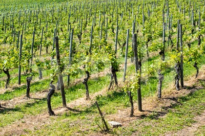 Spring Vineyard Rows Stock Photo