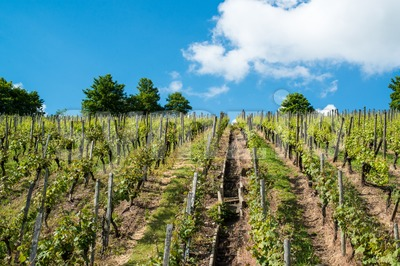 Vineyard with great blue sky Stock Photo