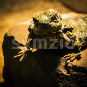 Lizard posing on sandstone Stock Photo
