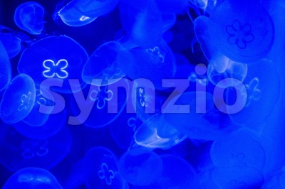 Jellyfish in aquarium Stock Photo