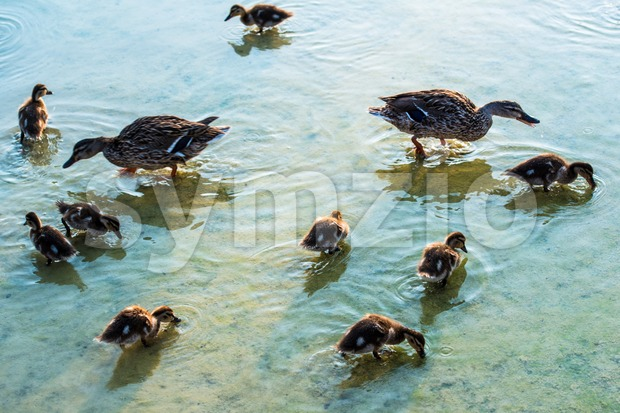duck family Stock Photo