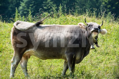 Dark Cow Stock Photo