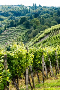 Vineyards in Stuttgart Stock Photo